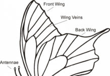Butterfly lateral view diagram