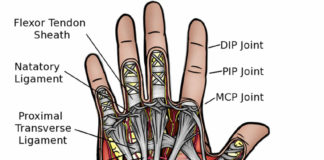 Human hand anatomy anterior view diagram