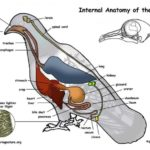 Internal anatomy of the bird