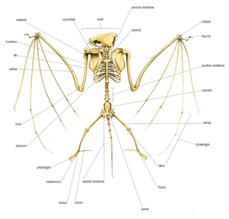 Vampire Bat Anatomy