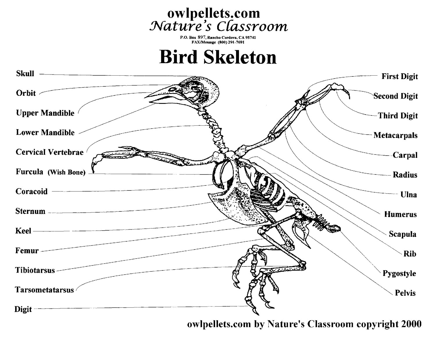 Bird skeleton anatomical structure