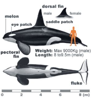 Whale and human size compare diagram