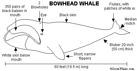 Bowhead whale external view