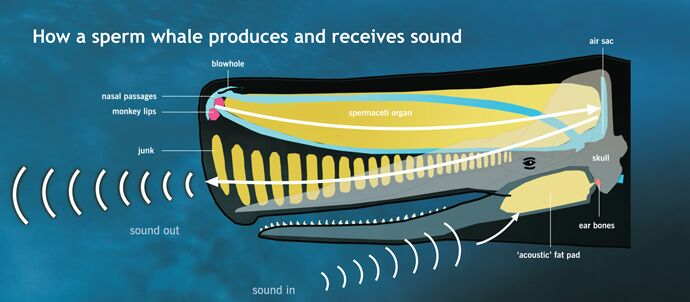 Sperm whale sound receive diagram