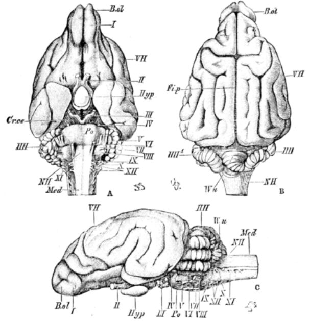 Mammal brain anatomy
