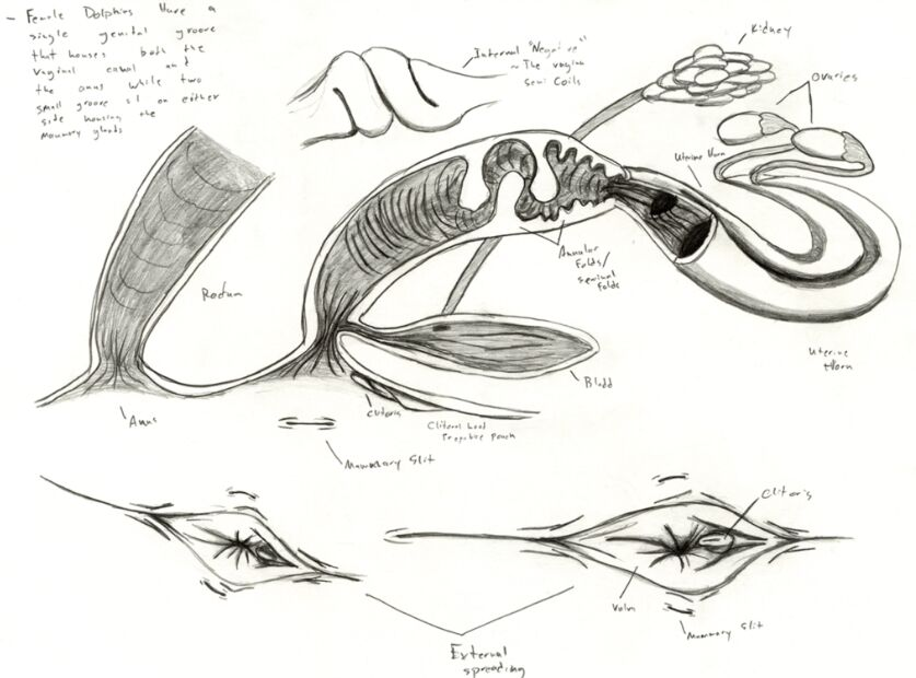Female dolphin reproductive system anatomy