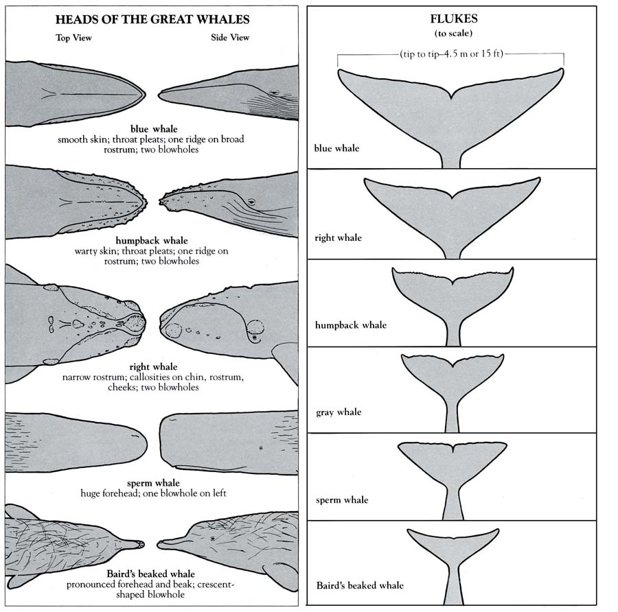 Heads and flukes of great whale