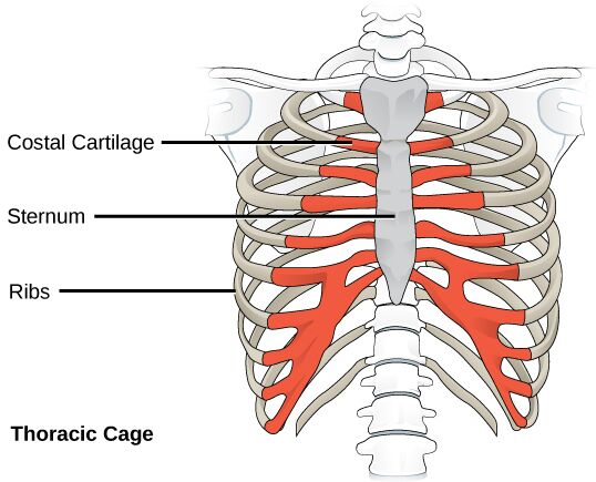 Thoracic cage of human body anterior view
