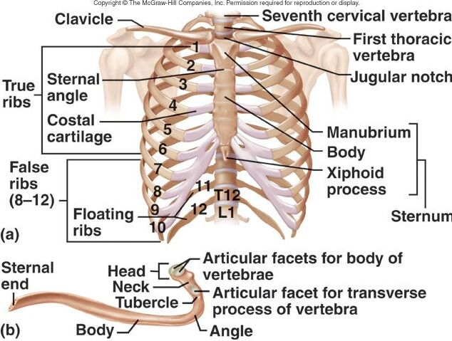 Clavicle anatomy and rib cage anatomy