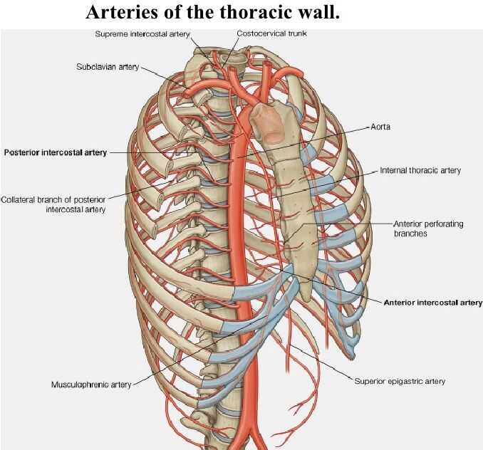 Arteries of the thoracic wall