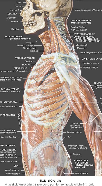 Human anatomy lateral view
