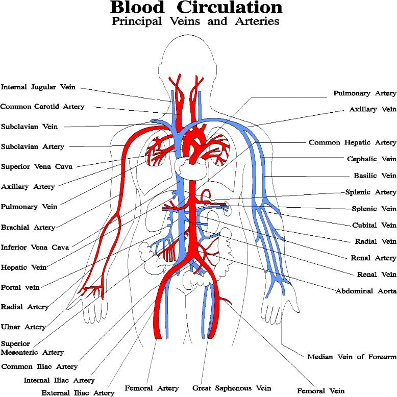 Blood circulation principal veins and arteries diagram