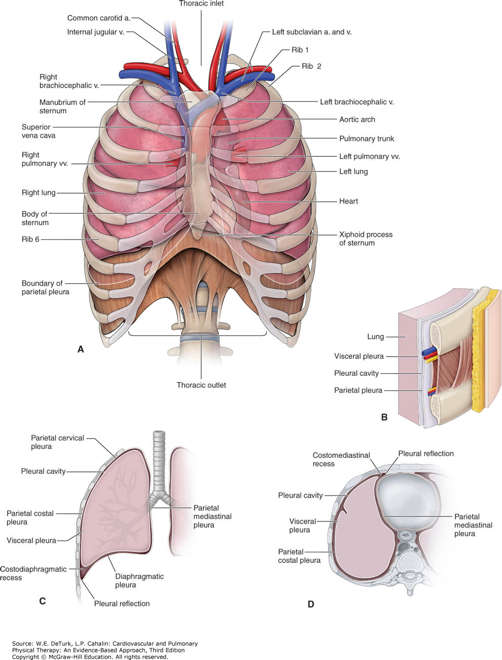 Thoracic cavity and lung anatomy in detail