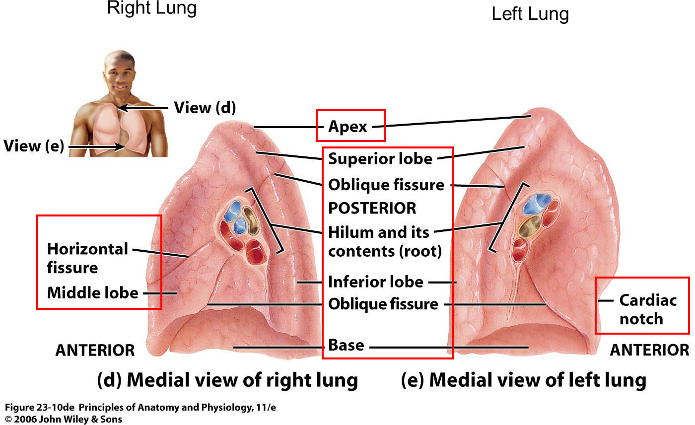 Medial view of left and right lung anatomy