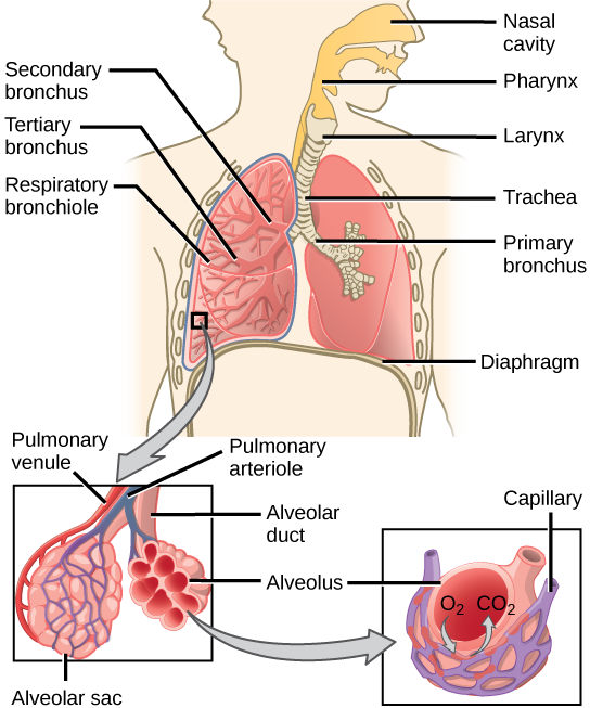 Alveoli capillary circulations diagram