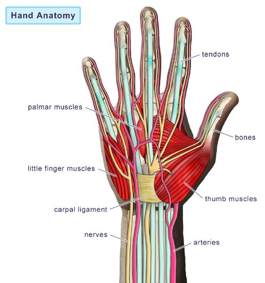 Hand anatomy gross view