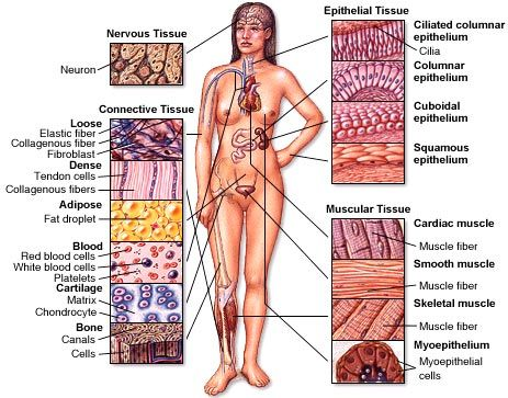 Human body organ tissue diagram
