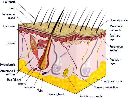 Sectional view of human skin diagramAnatomy Note
