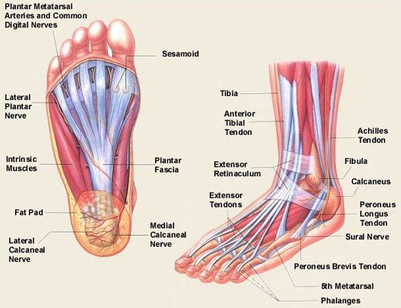 Foot inferior anatomy and foot lateral anatomy