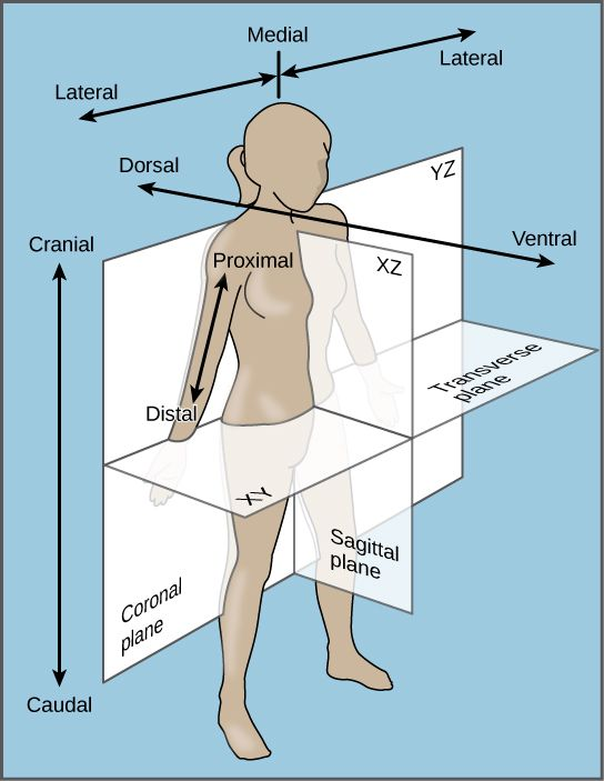 Human body anatomy direction diagram