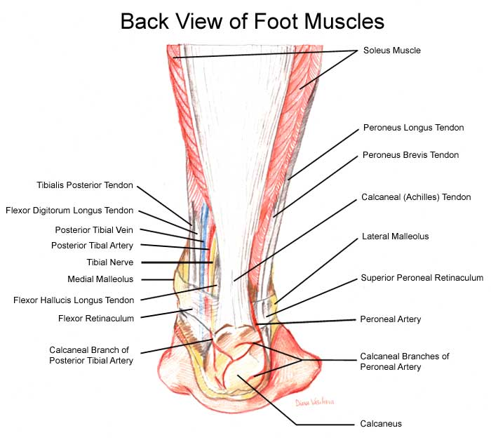 Back view of foot muscles
