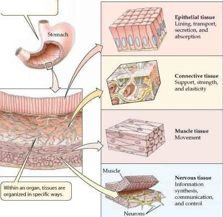 Stomach wall structure detail