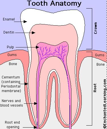 Cementum of tooth