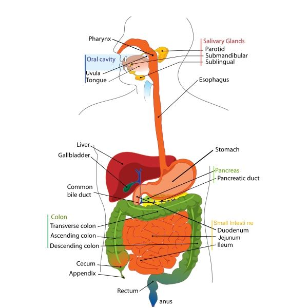 Jejunum and ileum location