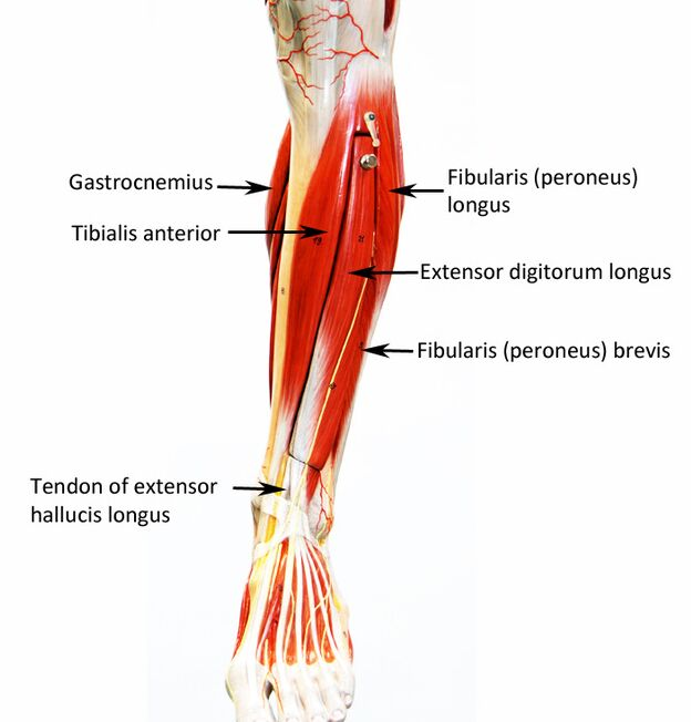 Extensor digitorum longus location