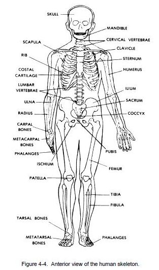 Anterior view of the human skeleton diagram