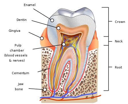 Crown of tooth, Enemal, dentin, gingiva anatomical structure