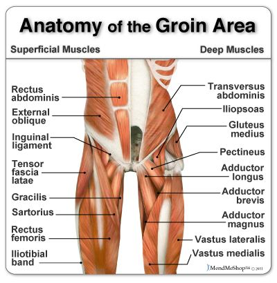 Anatomy of the groin area superficial muscles and deep muscles