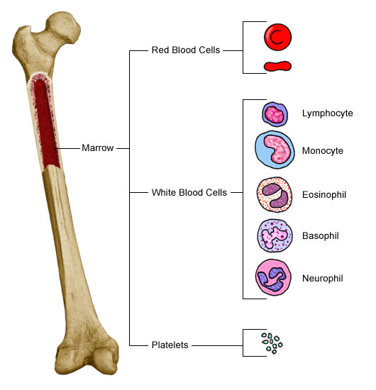 Bone marrow and blood cell