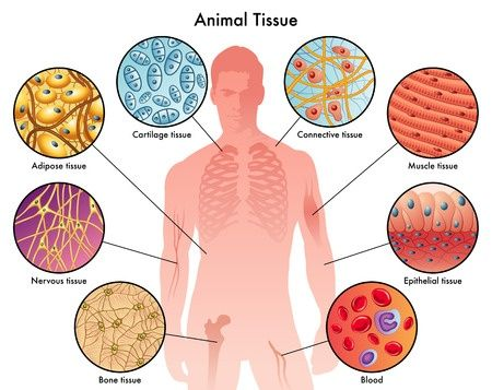 Types of human body tissue