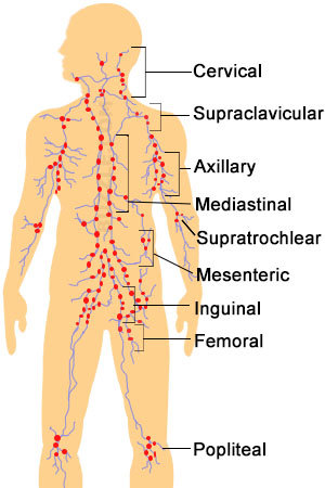 Lymph node location in the human body