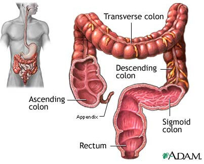 Intestine location in the abdomen