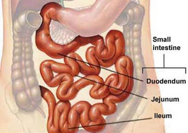 Small intestine location and component