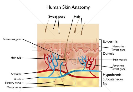 Human skin anatomy sectional view