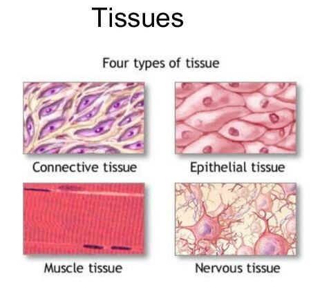 Four tissue types diagram