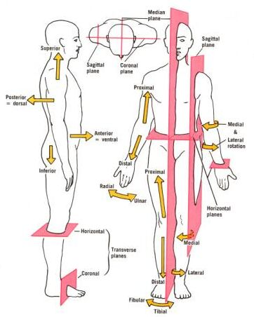 Medical term of position of human body