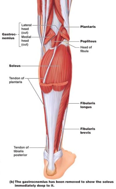 posterior view of leg muscle and tendons without gastrocnemius muscle