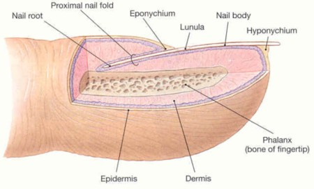 Human nail anatomy the integumentary system