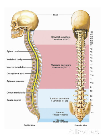 Human spinal cord and skull anatomy