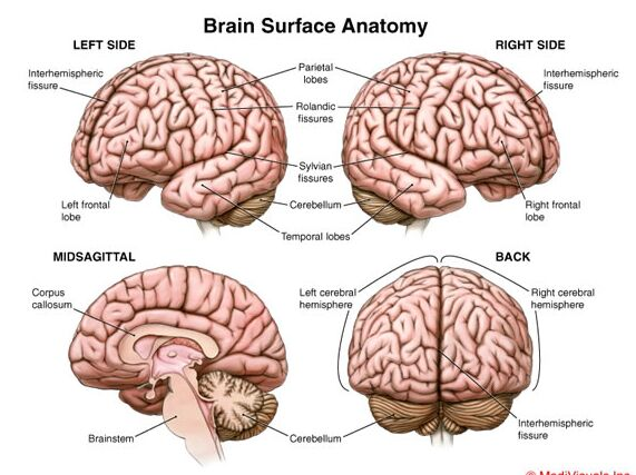 Brain surface anatomy left side, misagittal side, right side, and back side