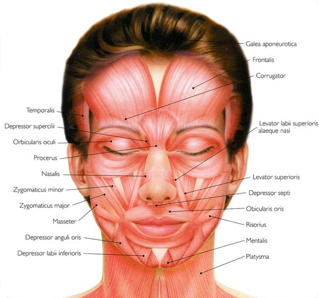 Human facial muscle diagram