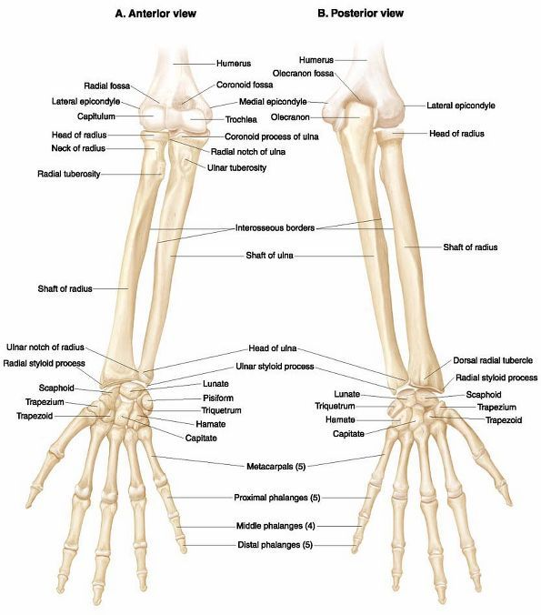 Radius location and ulnar anterior and posterior view