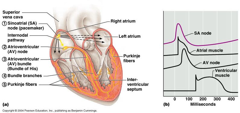 Sinoatrial node and heart anatomical structure