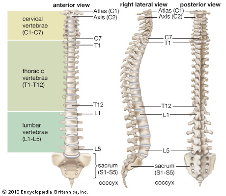 Vertebrae anterior view, posterior view and lateral view