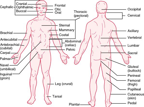 Human body anatomy terminology
