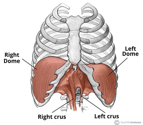 Diaphragm of human body
